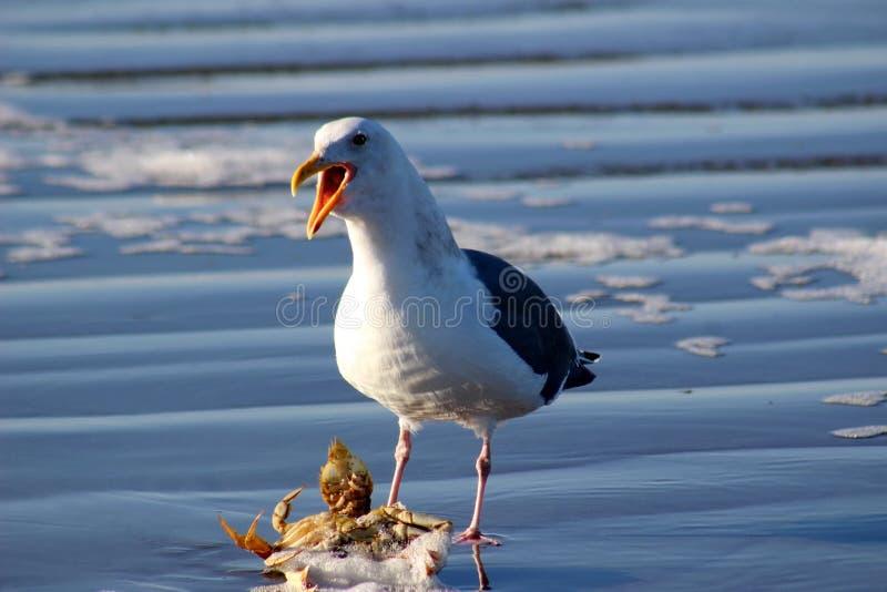 Γλάρος - Seagull που λέει σε με για να υπαναχωρήσει! στοκ εικόνες