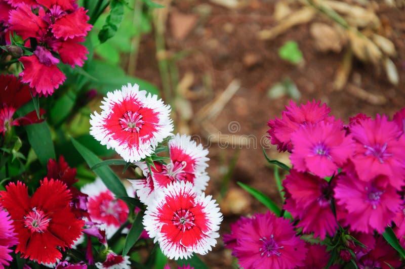 Γλυκές ποικιλίες λουλουδιών του William στοκ φωτογραφία με δικαίωμα ελεύθερης χρήσης
