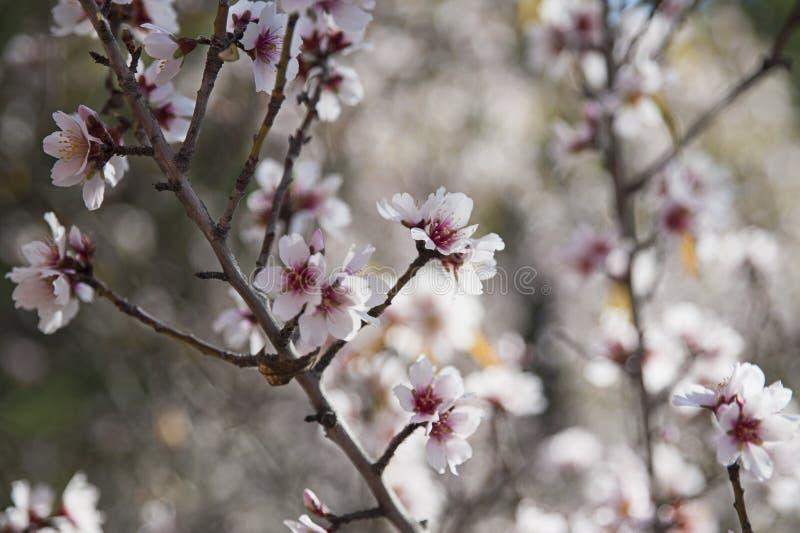 Γλυκιά αμυγδαλιά, που ανθίζει, επιδεικνύοντας τις συστάδες λεπτού και μικρού χλωμού - ρόδινα λουλούδια κάτω από το φως του ήλιου  στοκ εικόνες με δικαίωμα ελεύθερης χρήσης