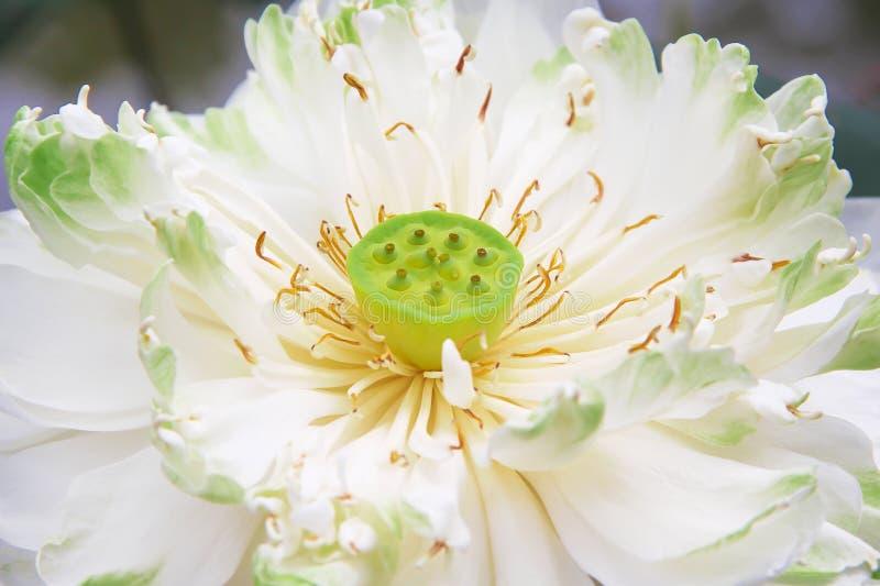 Γλυκιά ενιαία άσπρη άνθιση λουλουδιών λωτού κρίνων στοκ φωτογραφία με δικαίωμα ελεύθερης χρήσης