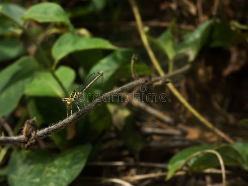 Γλυκιά πράσινη λιβελλούλη στοκ εικόνες με δικαίωμα ελεύθερης χρήσης