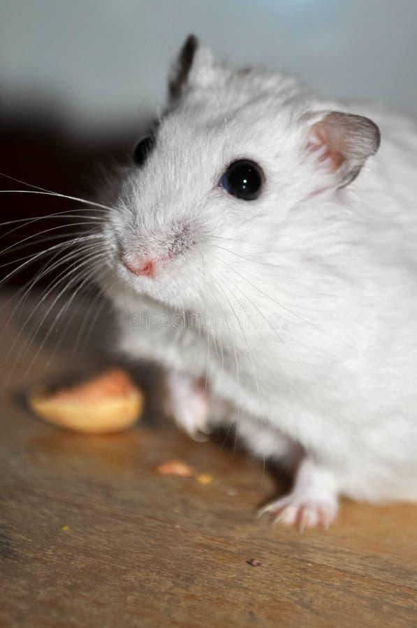 Γλυκιά djungarian χάμστερ, τρώγοντας ένα καρύδι pistacchio, στεμένος σε μια ξύλινη καρέκλα και ευθύς στοκ φωτογραφία με δικαίωμα ελεύθερης χρήσης