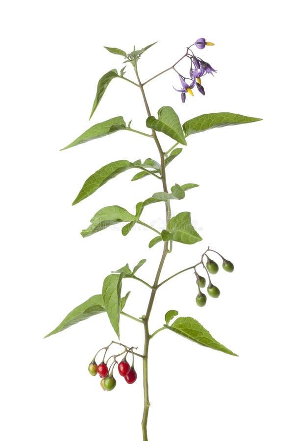 γλυκόπικρο φυτό λουλο&u στοκ εικόνες