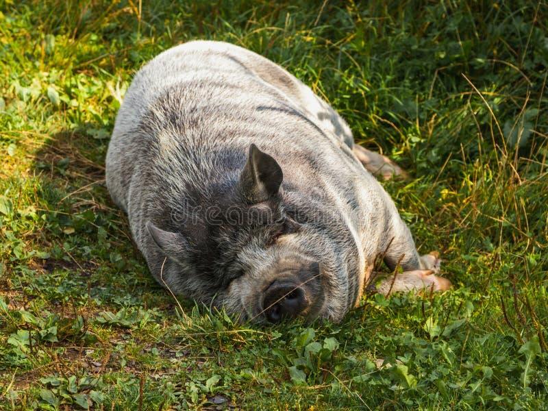 Γλυκός χοίρος ύπνου στοκ εικόνα με δικαίωμα ελεύθερης χρήσης