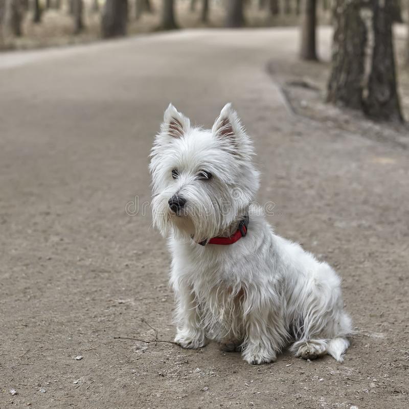 Γλυκό λευκό τεριέ δυτικών ορεινών περιοχών - Westie, παιχνίδι σκυλιών Westy στο δάσος στοκ φωτογραφία με δικαίωμα ελεύθερης χρήσης