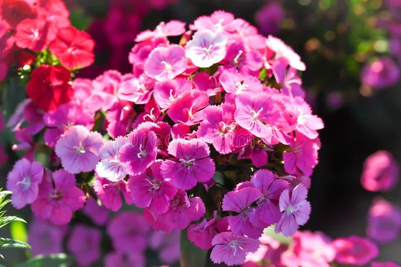 Γλυκό λουλούδι του William ή λουλούδι Dianthus στοκ εικόνα με δικαίωμα ελεύθερης χρήσης