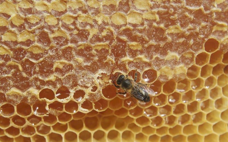 γλυκό μελιού μελισσών στοκ φωτογραφίες