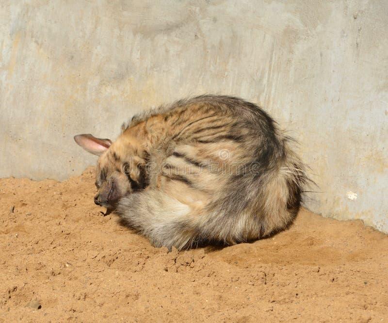 γλυκό ονείρων Ριγωτοί ύπνοι hyaena Hyaena hyena στοκ φωτογραφίες