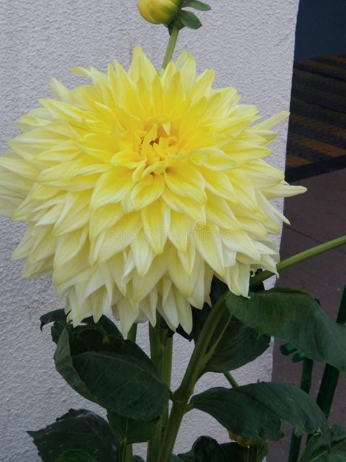Γλυκό χρώμα λουλουδιών Deliya μου στοκ φωτογραφία