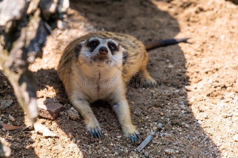 Γλυκό Mongoose Η έννοια των ζώων στο ζωολογικό κήπο Ζωολογικός κήπος Pattaya, Ταϊλάνδη στοκ φωτογραφία