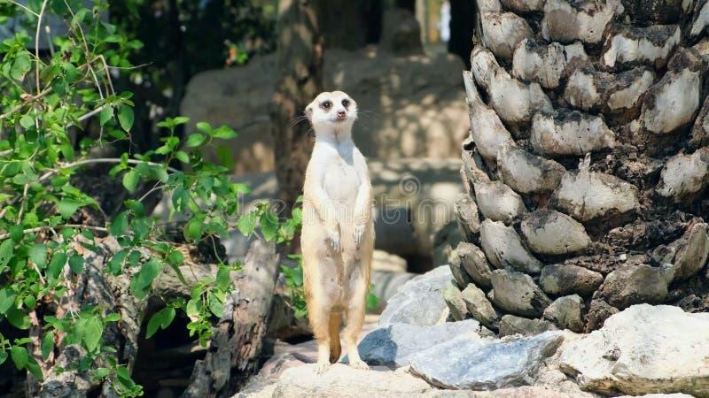 Γλυκό Mongoose Η έννοια των ζώων στο ζωολογικό κήπο Ζωολογικός κήπος Pattaya, Ταϊλάνδη στοκ εικόνες