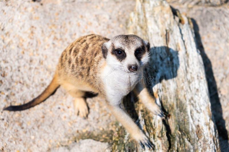Γλυκό Mongoose Η έννοια των ζώων στο ζωολογικό κήπο Ζωολογικός κήπος Pattaya, Ταϊλάνδη στοκ εικόνα με δικαίωμα ελεύθερης χρήσης