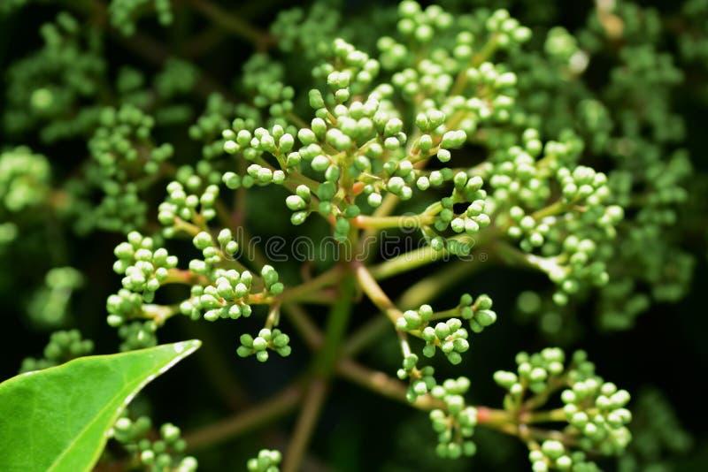 γλυκό viburnum στοκ φωτογραφίες
