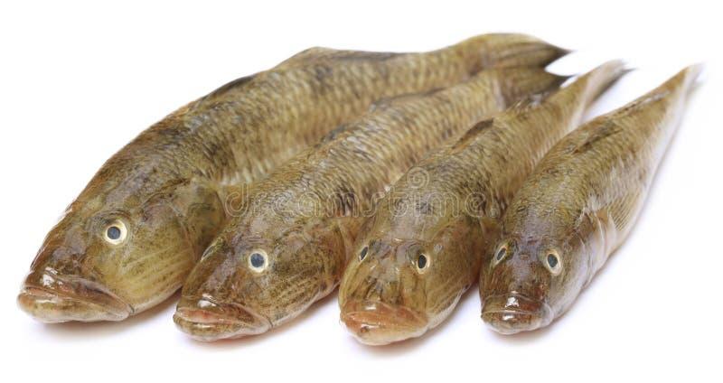 ψάρια 4 δωρεάν dating Συνδέστε τον θερμοστάτη σε ανεμιστήρα