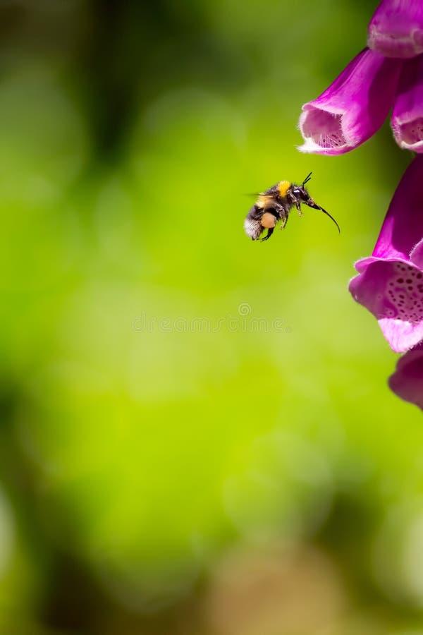 γονιμοποίηση Η μέλισσα Bumble με το σύνολο οι σάκοι και τα proboscis στοκ εικόνα