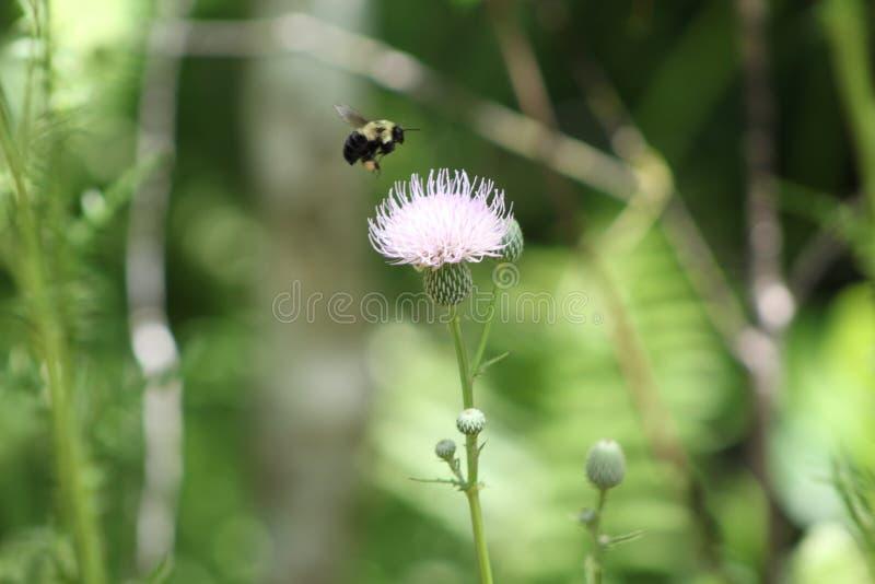 Γονιμοποίηση μελισσών Bumble την άνοιξη στοκ εικόνες με δικαίωμα ελεύθερης χρήσης