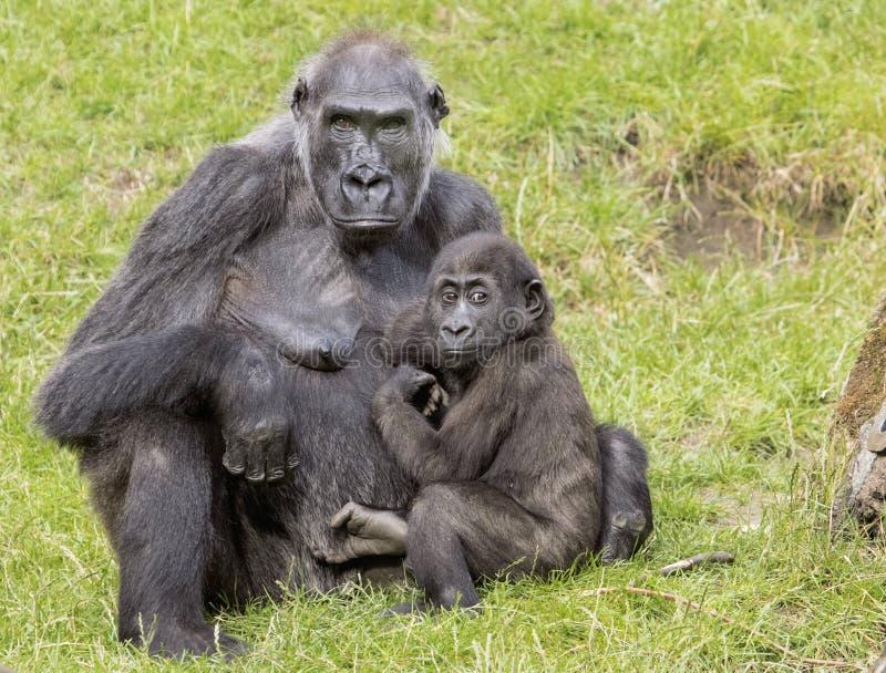 Γορίλλας μητέρων με το μωρό της στοκ φωτογραφία με δικαίωμα ελεύθερης χρήσης