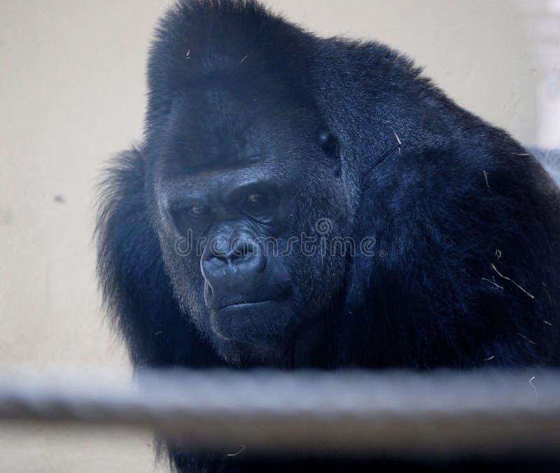 Γορίλλας στο ζωολογικό κήπο της Λισσαβώνας στοκ φωτογραφίες