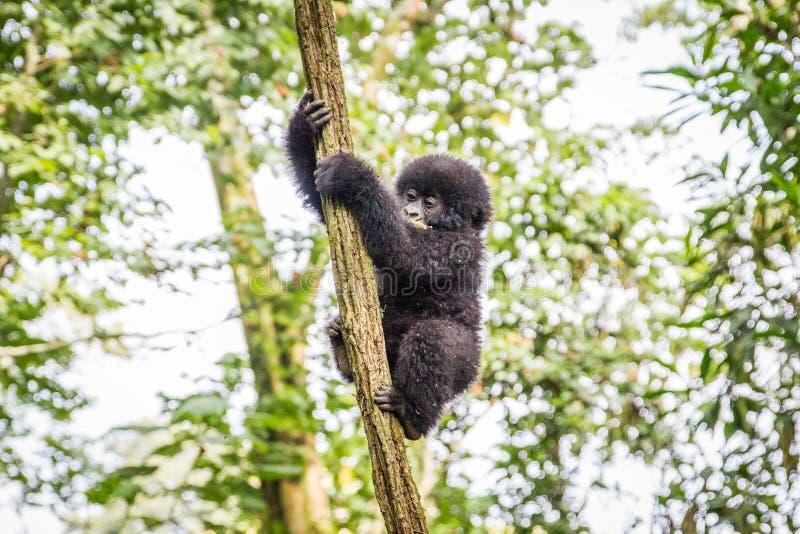 Γορίλλας βουνών μωρών που αναρριχείται σε ένα δέντρο στοκ εικόνες
