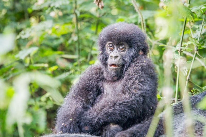 Γορίλλας βουνών Silverback μωρών στο εθνικό πάρκο Virunga στοκ φωτογραφίες με δικαίωμα ελεύθερης χρήσης