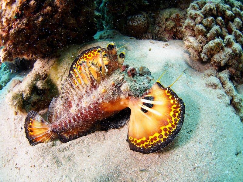 Γουόκμαν Filamented Devilfish Ερυθρών Θαλασσών στοκ φωτογραφία με δικαίωμα ελεύθερης χρήσης