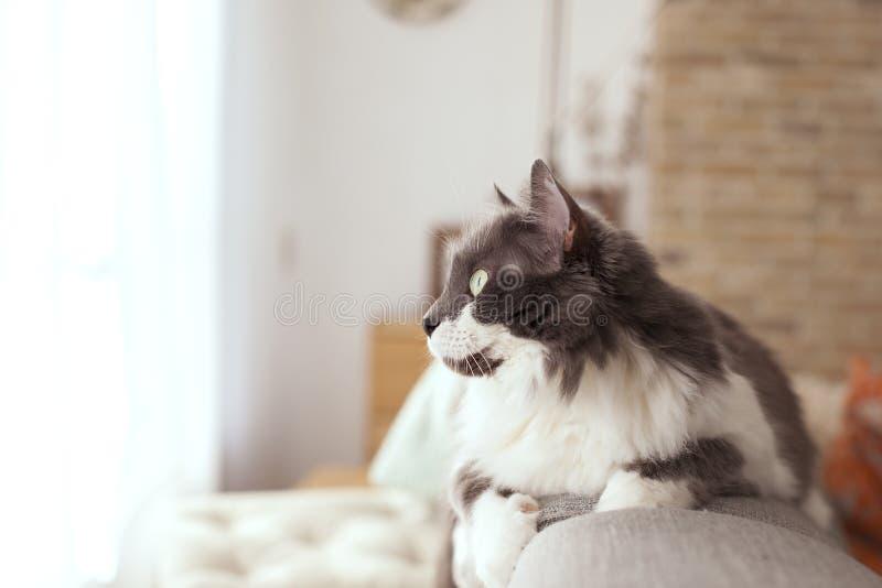 Γούνινη γάτα στο σπίτι στον καναπέ pet διάστημα αντιγράφων στοκ εικόνες