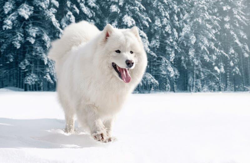 Γούνινο άσπρο σκυλί Samoyed κινηματογραφήσεων σε πρώτο πλάνο που τρέχει στο χιόνι το χειμώνα στοκ εικόνα με δικαίωμα ελεύθερης χρήσης