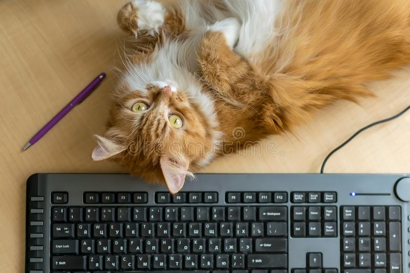 Γούνινο pussycat που βρίσκεται κοντά στο πληκτρολόγιο και τη μάνδρα στον πίνακα στοκ εικόνα με δικαίωμα ελεύθερης χρήσης