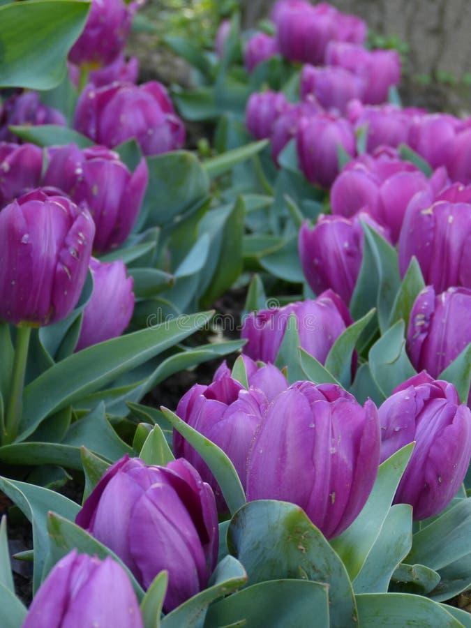 Γραμμή πορφυρών λουλουδιών στοκ εικόνες