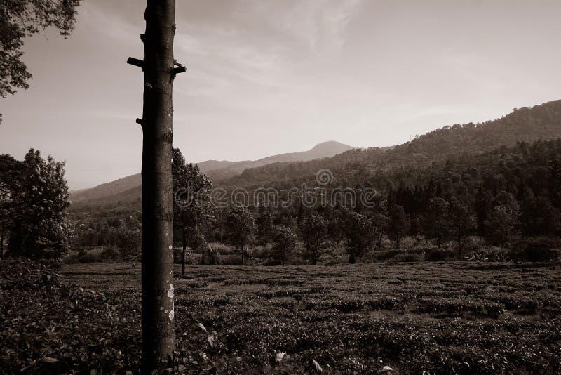 γραπτές φυτείες τσαγιού στο υψηλό έδαφος στο bogor puncak στοκ φωτογραφίες με δικαίωμα ελεύθερης χρήσης