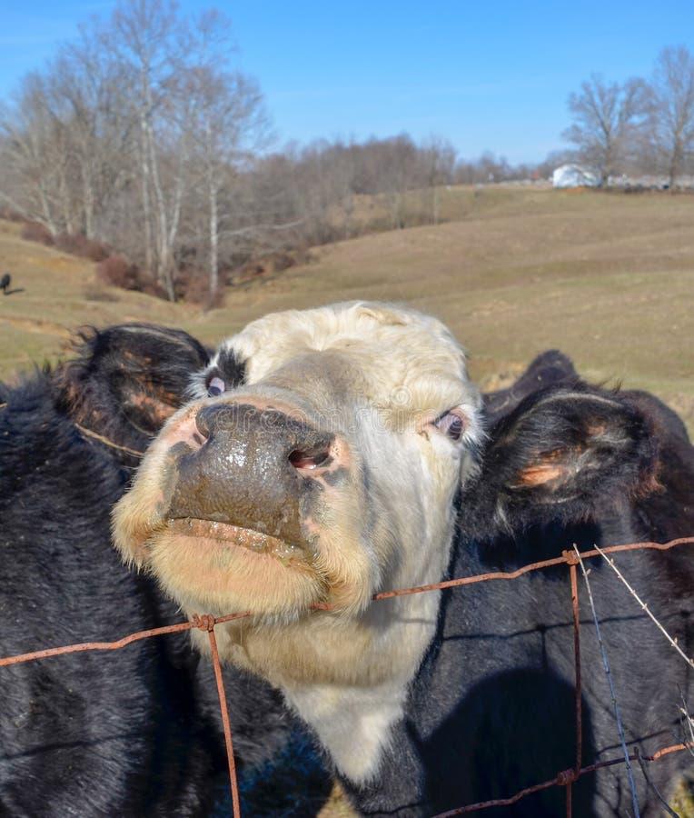 Γραπτή αδιάκριτη αγελάδα στοκ φωτογραφία
