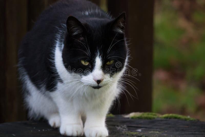 Γραπτή γάτα κατοικίδιων ζώων με τα φωτεινά ζωηρά κίτρινα μάτια για να πηδήσει περίπου από ένα κούτσουρο στοκ εικόνα με δικαίωμα ελεύθερης χρήσης