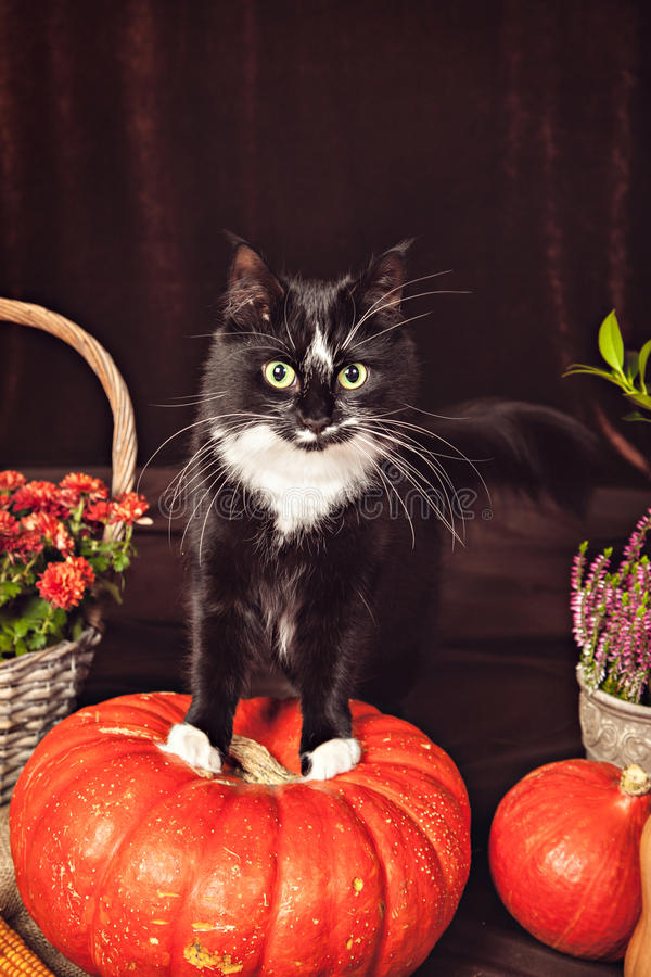 Γραπτή γάτα που μένει στην κολοκύθα στοκ φωτογραφία με δικαίωμα ελεύθερης χρήσης