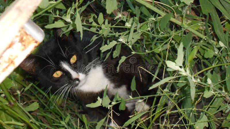 Γραπτή γάτα στη χλόη στοκ εικόνα