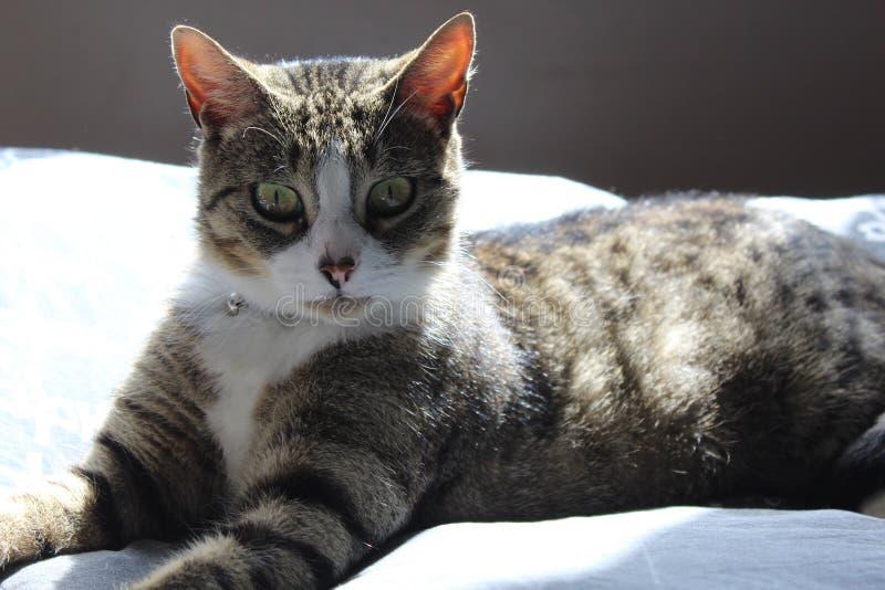 Γραπτή γκρίζα τιγρέ γάτα Europeeun στοκ φωτογραφία