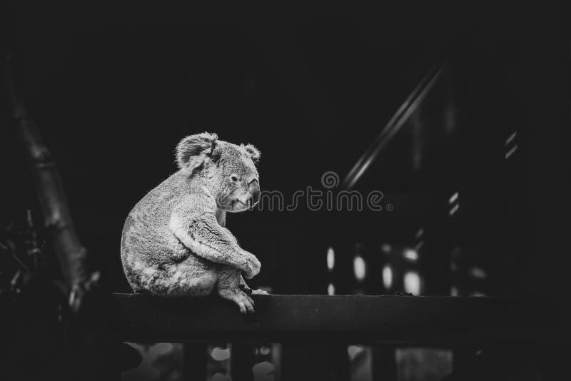 Γραπτή εικόνα ενός άγριου koala στοκ φωτογραφίες με δικαίωμα ελεύθερης χρήσης