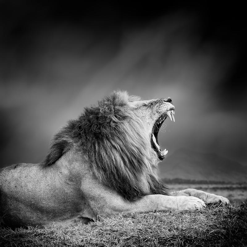 Γραπτή εικόνα ενός λιονταριού στοκ φωτογραφία