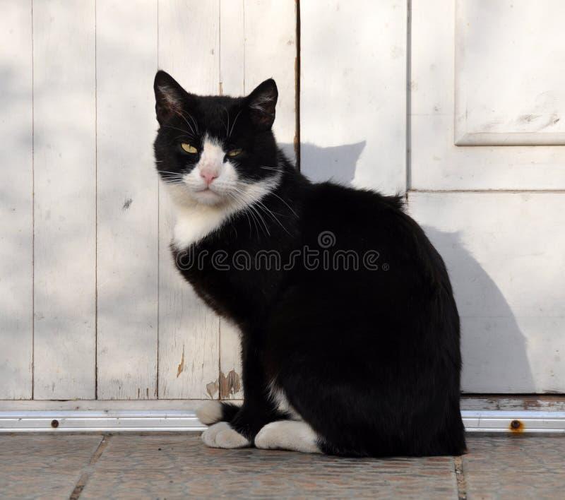 Γραπτή ενήλικη γάτα, ζωικό καταφύγιο στοκ φωτογραφία με δικαίωμα ελεύθερης χρήσης