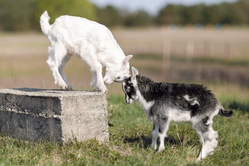 Γραπτή μικρή μάχη goatlings για τη θέση στο φραγμό στοκ φωτογραφίες με δικαίωμα ελεύθερης χρήσης