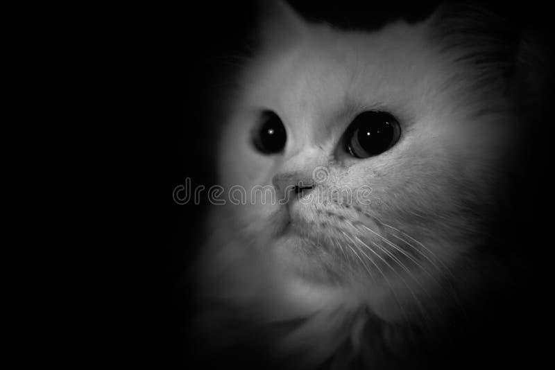 Γραπτή περσική μακρυμάλλης γάτα στοκ φωτογραφία με δικαίωμα ελεύθερης χρήσης