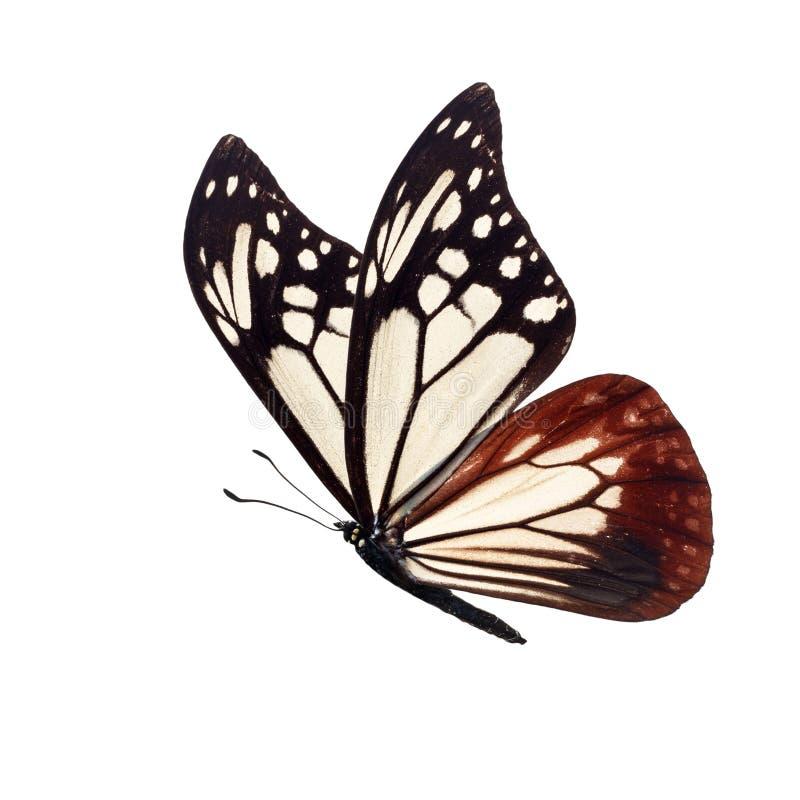 Γραπτή πεταλούδα στοκ εικόνα με δικαίωμα ελεύθερης χρήσης