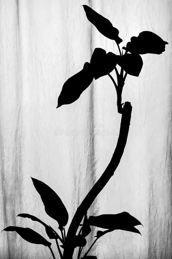 Γραπτή σκιαγραφία του φυτού Dieffenbachia με τα κυρτά χαμηλότερα και ανώτερα φύλλα μίσχων και ανάπτυξης που στέκονται κοντά στην  στοκ εικόνα