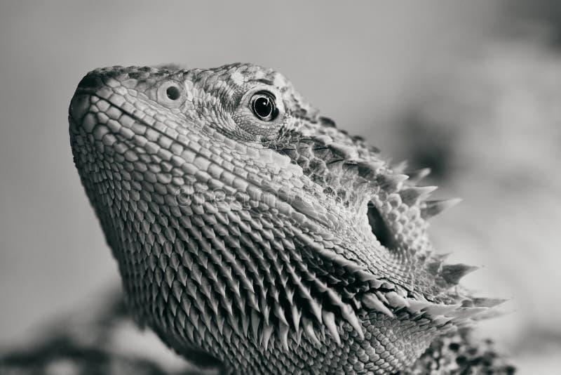 Γραπτή φωτογραφία ενός θηλυκού γενειοφόρου δράκου στοκ εικόνα με δικαίωμα ελεύθερης χρήσης