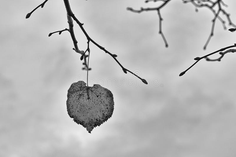 Γραπτή φωτογραφία ενός φύλλου φθινοπώρου σε έναν κλάδο Υπόβαθρο στοκ φωτογραφία με δικαίωμα ελεύθερης χρήσης