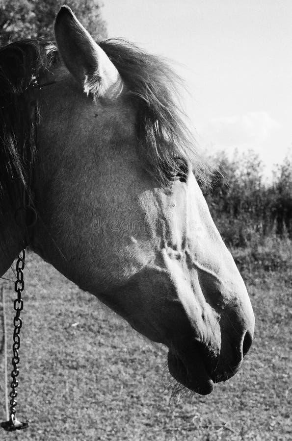 Γραπτή φωτογραφία του αλόγου στοκ εικόνες