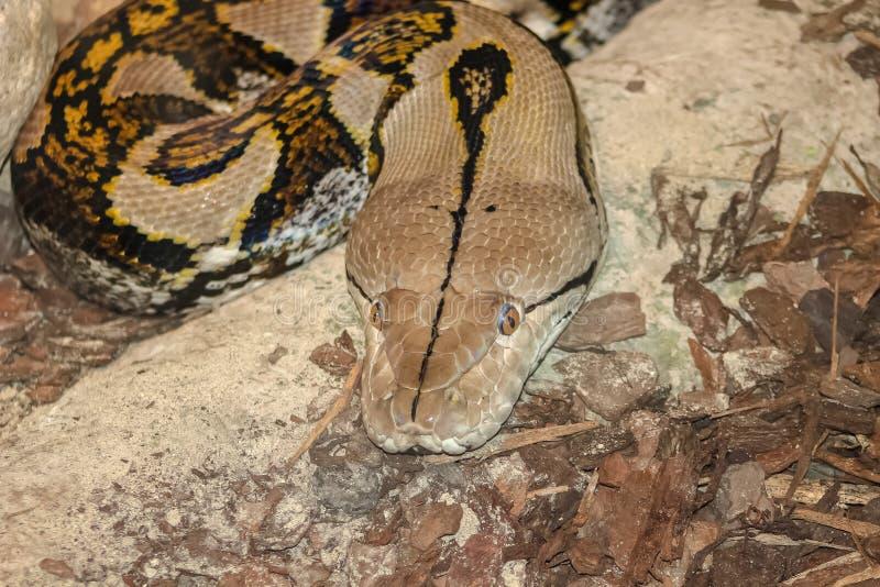 Γραπτή φωτογραφία του reticulated κεφαλιού python στοκ εικόνες