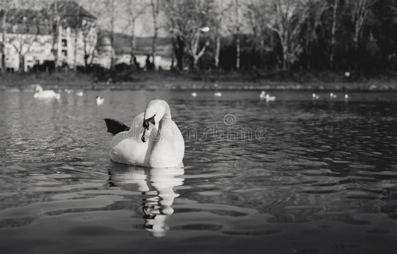 Γραπτός - κύκνοι στον ποταμό με την αντανάκλαση στο νερό και ξενοδοχεί στοκ εικόνα με δικαίωμα ελεύθερης χρήσης