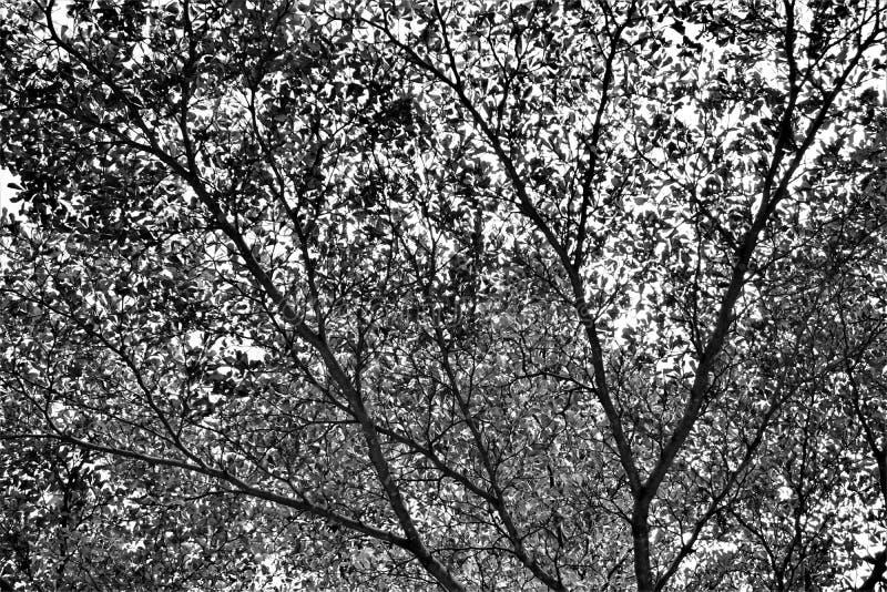 Γραπτός του θόλου δέντρων στοκ εικόνα