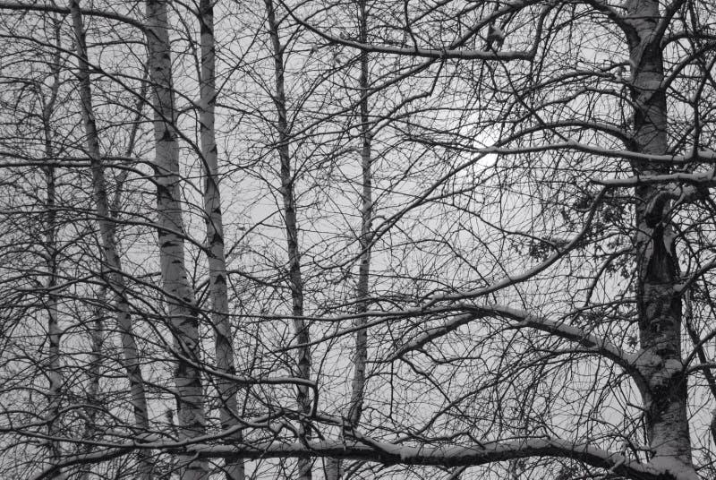 Γραπτός των χιονισμένων κλάδων που σταυρώνουν μπροστά από την γκρίζα μέση χειμερινή ημέρα στοκ εικόνες