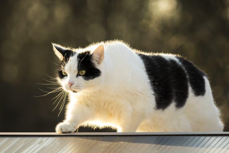 Γραπτός φράκτης περπατήματος γατών στοκ εικόνες